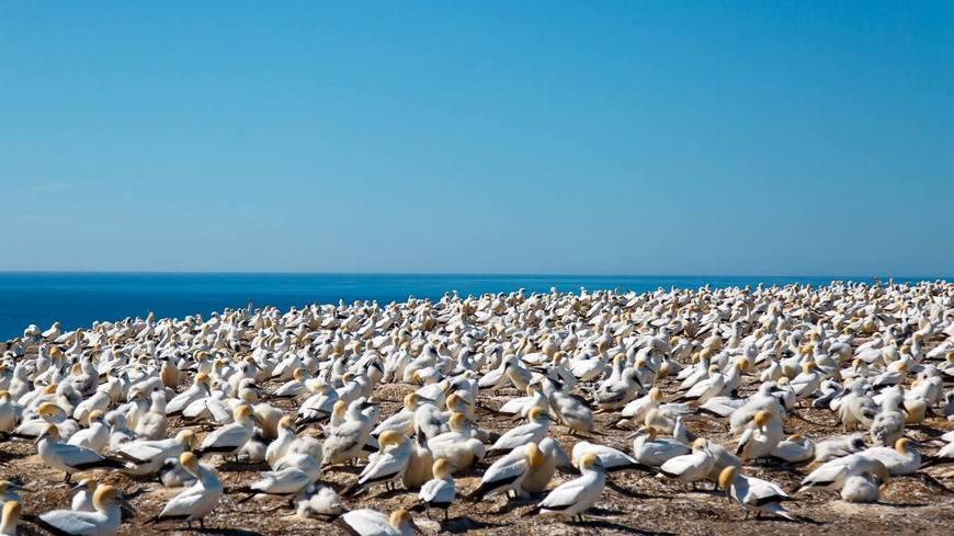 Мыс Похитителей - одна из самых больших в мире колоний бакланов